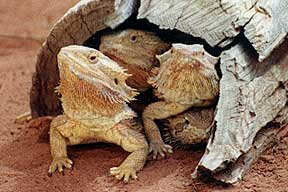 Alice Springs Reptile Centre - Wagga Wagga Accommodation